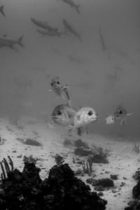 Jackfish - Xcalak, Yucatan