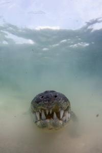 Crocodile Nose  - Banco Chinchorro, Yucatan