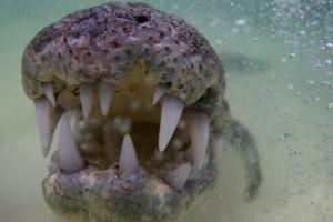 Crocodile Close Up  - Banco Chinchorro, Yucatan