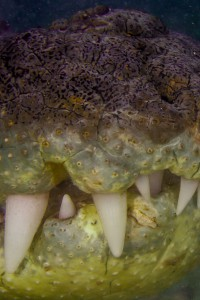 Crocodile  Teeth - Banco Chinchorro, Yucatan