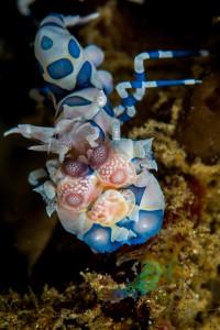 Harliquin Shrimp