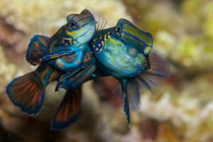 Madarinfish