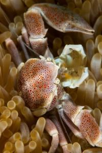 Porcelean Crab