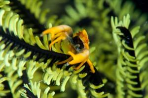 Featherstar Crab