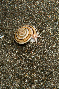 Small Shell with Worm - Manado