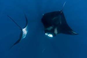 Mantas Playing - Yucatan