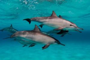 Dolphins - Sataya