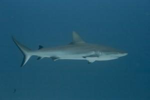 Black Tip Shark - Palau