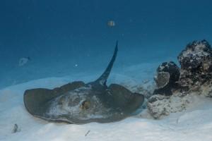 Stingray - Palau