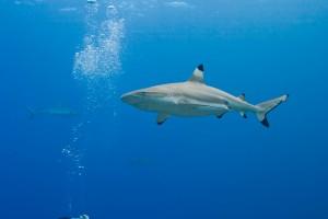 Blacktip Shark - Yap